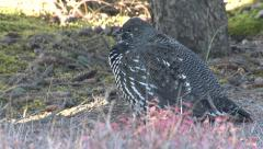 Spruce aka Canada Grouse in Boreal Spruce Forest - stock footage