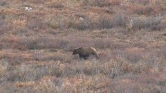 Grizzly Bear Walking Across Tundra in Alaska Stock Footage