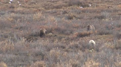 Sow Grizzly Bear and Cubs Digging Roots in Willows Stock Footage