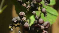 Dried, shriveled, diseased grapes Stock Footage