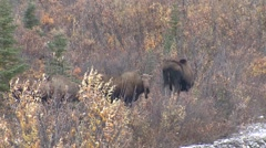 Cow Moose in Willows and Bull Moose Hiding - stock footage
