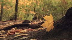 Yellow Maple Leaf  on the wind Stock Footage