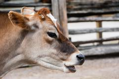 Close-up of jersey cow head with mouth open - stock photo