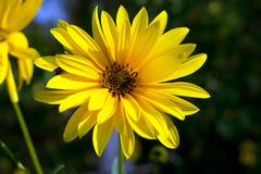 Yellow daisy (Argyranthemum frutescens) - stock photo