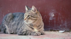 Stray cat resting on the ground Stock Footage