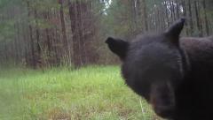 Black Bear - stock footage