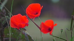 Stock Video Footage of Remembrance red poppies green background