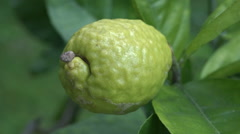 Citron, Etrog grow on a tree Stock Footage