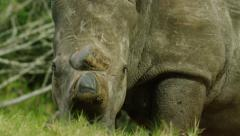 6K R3D - White Rhino - turns to look at camera, dehorned. Africa animal 4K Stock Footage