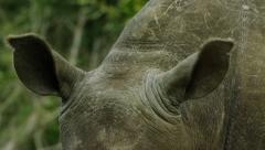 6K R3D - White Rhino - ears swivelling, close shot. Listen hear africa 4K uhd - stock footage