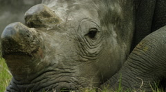 6K R3D - White Rhino - lying down, close of head, dehorned 2. Africa 4K uhd Stock Footage