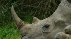 6K R3D - White Rhino - lying down, close of head and horn. Africa 4K uhd big Stock Footage