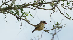 6K R3D - Brown-hooded Kingfisher - perched in tree, wide. Africa bird colorful Stock Footage