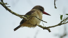 6K R3D - Brown-hooded Kingfisher - perched in tree, close. Africa bird pretty Stock Footage