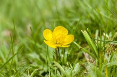 Flower of Bulbous buttercup, Ranunculus bulbosus Stock Photos
