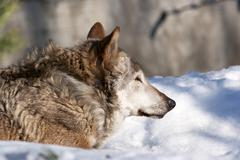 An old wolf female, lying on fresh snow. Dangerous and severe shaggy beast of - stock photo