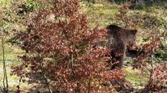 4K footage of a Brown Bear (Ursus arctos) Stock Footage