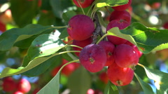 Wild Apple Crab Apples Growing On A Tree Stock Footage