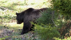 4K footage of two Brown Bears (Ursus arctos) Stock Footage