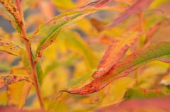 all rainbow colour on plant in autumn nature in the arctic circle - stock photo