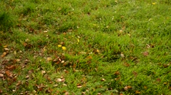 autumn leaf falling on green vibrant grass lawn - stock footage