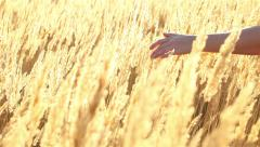 Woman's hand slide threw a golden grass in sunset light Stock Footage