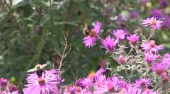 Bees pollinating flowers Stock Footage