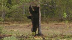 Brown Bear itch back against tree slow motion Stock Footage