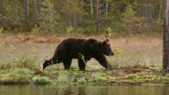 Brown Bear walking in swamp left to right Stock Footage