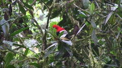 Andean Cock-of-the-Rock perched on branch 2 - stock footage