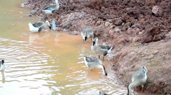 Group of thai goose on the river - stock footage