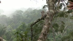 Common Potoo with baby in rainforest canopy 2 Stock Footage