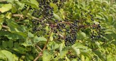 Ripe elderberry (Sambucus) swaying in autumn wind, close-up shot II - stock footage
