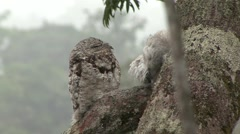 Common Potoo with baby in rainforest canopy 3 Stock Footage