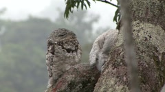 Common Potoo with baby in rainforest canopy 4 Stock Footage