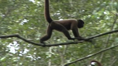 Common Woolly Monkey filmed from boat move in the rainforest 1 Stock Footage
