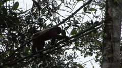Common Woolly Monkey filmed from boat move in the rainforest 3 Stock Footage