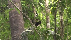 Common Woolly Monkey move in the rainforest 2 Stock Footage