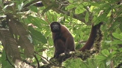 Common Woolly Monkey sit in tree and jumps away Stock Footage
