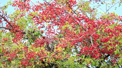Mature nice red hawthorn berries Stock Footage