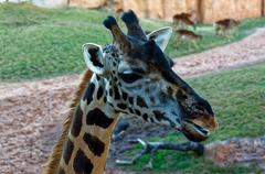 Giraffa camelopardalis with long neck in the zoo. - stock photo