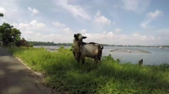 Old billy buck goat grazing grass at lake shore Stock Footage