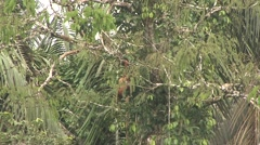 Red Howler Monkey feeding with baby on back 2 Stock Footage
