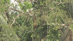 Red Howler Monkey feeding with baby on back 4 Stock Footage
