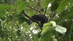 Tayra moving in tree Stock Footage