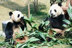 Two pandas eating bamboo Stock Photos
