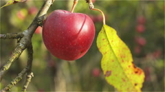 Ripe Red apple on the branch in the afternoon sun Stock Footage