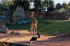 Giraffa camelopardalis with long neck in the zoo. Stock Photos
