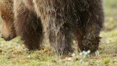 Dorsal view of wet Brown Bear walking in swamp slow motion Stock Footage