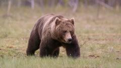 Huge Brown Bear walking in swamp making noisy sound - stock footage